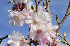 Prunus Autumnalis Rosea /Winter-Flowering Cherry,4-5ft, 5L Semi-Double Flowers