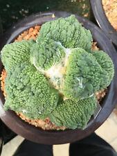 Ariocarpus retusus Super cauliflower Lkl Guidon no