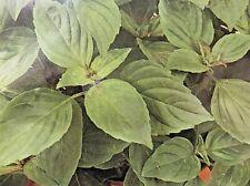 Basilikum Zitronenbasilikum einjährig, Gewürzkräuter,Kräuter,Saatgut Samen,P.220