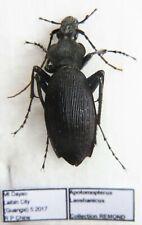 Carabus apotomopterus laoshanicus (female A2) from CHINA