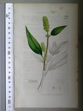 English Botany, Smith, Sowerby, handcoloured copperplate, 568, 3.Edition,1850.