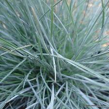 Festuca Glauca Elijah Blue Perennial Grass 3 litre pot x 2