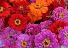 50+ Magellen Mix Zinnia / Long-Lasting Annual Flower Seeds