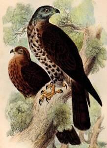 1896  Rare Antique Hand Coloured Bird Print Honey Kite