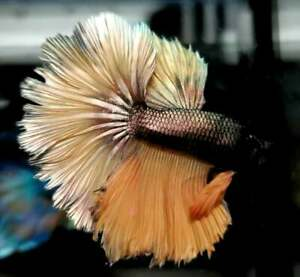 RARE!! (Limitid) Premium Live Betta Fish : Male : Rosetail Golden Emerald