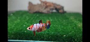 ( Hight Quality)Premium Live Betta Fish Female Koi Multicolor From Thailand