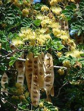 Samanea Saman, Albizia, gelbe Pinselblüte. HUGE brush flower, 10 Samen, 10 seeds