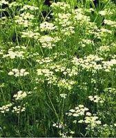 Cumin- Herb- 200 Seeds - BOGO 50% off SALE