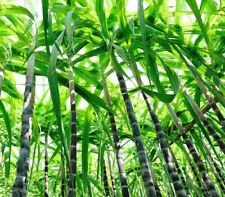 Black sugar cane sweet juicy home garden 100 seeds