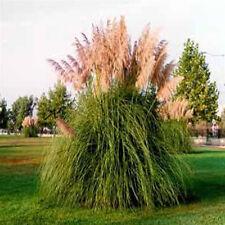 5 Pink Pampas Grass  - Cortaderia selloana Rosea - Five Live Perennial Plants