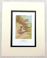 Antique Bird Print Redbreast Redstart Ornithology Thorburn's Birds Ca. 1929
