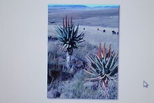 10 Samen Kap Aloe, Aloe ferox, Heilpflanze, # 153