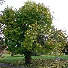 Morus nigra schwarzer Maulbeerbaum Winterhart ca. bis minus 15-20 Grad