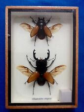 2 REAL STAG BEETLES ODONTOLABIS ELEGANS TAXIDERMY BROWN BEETLE INSECT ENTOMOLOGY