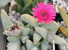 Cheiridopsis speciosa rare african mesembs stone ice plant rock seed 50 Seeds