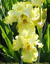 "1 ""Buckwheat"" Tall Bearded Iris Rhizome (Rebloomer)"