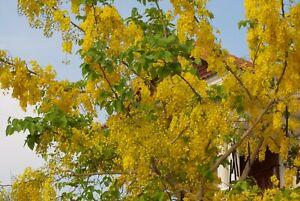Golden Shower Tree (cassia fistula) 6 Reliable Viable Seeds