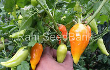 Peruvian Arancio Yellow - A Rare, Beautiful Peruvian Medium Hot Yellow Chilli