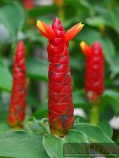 3 COSTUS Amazonicus Spiralis Spiral Bamboo Ginger Flower Rhizome Bulb Plants