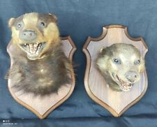 Paire Trophées Chasse/blaireau/chasse vintage/old badger hunting trophy