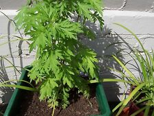 mugwort plant ( artemisia Vulgaris) Herb Edible Organic