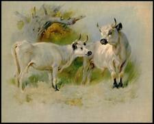 1921 Original Antique Print Wild White Cattle Cadzow Cow Mammal (4Tm)