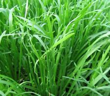 Plantain Corne de Cerf   Minutina Erba Stella   0,15 gramme +/- 500 Graines