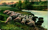 C48-2439, SHEEP FLOCK, POSTCARD.