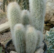 Espostoopsis dybowskii Cactus white hair plant in 70mm pot