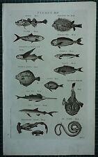 1786 PRINT ~ FISHES SAW FISH BLUE SHARK HAMER-HEAD SEA SNAKE SALPA REMORA
