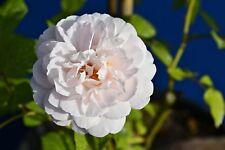 ROSA FELICITE ET PERPETUE rampicante rose Beautiful flowering alveolo