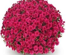 Coparo Purple Garden Mums/Belgian Mums Live Annual Now 12 Flowering Plants/Plug
