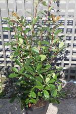 Photinia Fraseri Red Robin - Bush - Approx 90cms tall