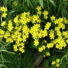 Flax- Yellow-(Linum Flavum Compactum) 50 seeds - - Bogo 50% off Sale
