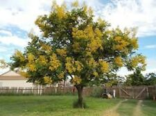 GOLDEN RAIN TREE, 50 + FRESH SEEDS, HARDY SMALL ORNAMENTAL TREE, EASY TO GROW