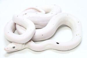 Framed Print - Brilliant White Leucistic Texas Rat Snake (Picture Reptile Art)