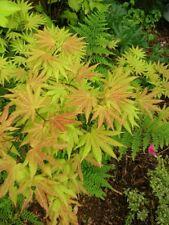 JAPANESE ACER Maple Tree Orange Dream 15-18ins 4lit/19cm Pot UK Nursery