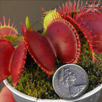 DIONAEA MUSCIPULA,B52 Worlds Largest Venus Fly Trap,Carnivorous-10 Fresh Seeds
