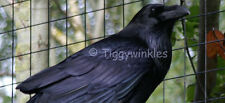 CHARITY VIRTUAL GIFT - RAVENS - ENRICHMENT ACTIVITIES - Tiggywinkles
