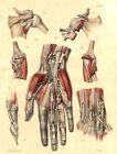 Medical Anatomy Antique Print-SYNOVIAL SHEATH-LIMB-BOURGERY-Jacob-Benard-1831