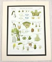 1883 Antico Botanico Stampa Alberi Foglia Salice Betulla Hazel Quercia