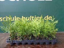 Lebensbaum Thuja occidentalis Brabant  T.B.6  10-15 cm 100 Stück