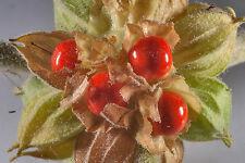 Ashwagandha, Withania somnifera / Indian Ginseng, 30 seeds