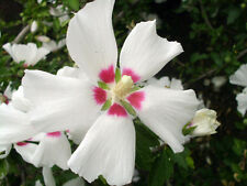 "30 Red Heart Rose Of Sharon Seeds - Hibiscus syriacus "" red heart """