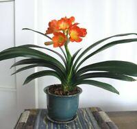 100Pcs Clivia Flower Seeds Ordinary 2 Kind Color Fragrance Potted Plant For Home