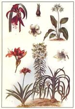 LILY AMARYLLIS. Golden garden Crinum scabrum Eucharis amazonica Jacob's 1907