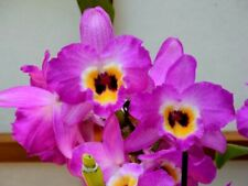 "Nobile Dendrobium New Century 'Happiness' in 2""Pot ~Blooms Next year~"