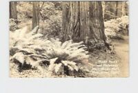 RPPC REAL PHOTO POSTCARD CALIFORNIA MUIR WOODS NATIONAL MONUMENT GIANT FERNS AND