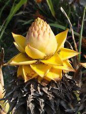 MUSA gran NAIN//GRAND naine essbanane Cavendish Gnam banane pianta 80-100cm