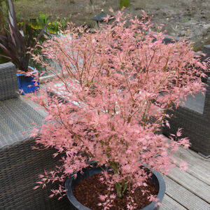 Acer Palmatum 'Taylor' 3L pot 50cm tall
